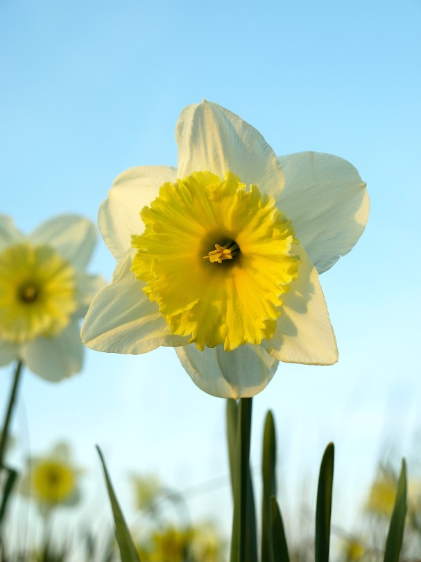 Spring! Narcissus