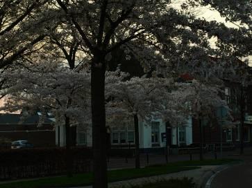 Blossom in street